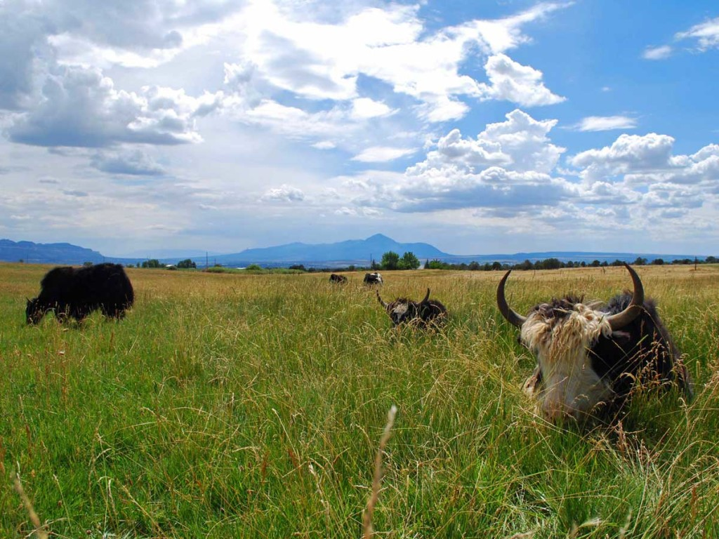 Mesa_View_Yak_Ranch-yaks-in-grass