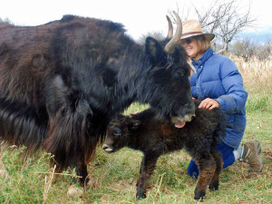 Mesa_View_Yak_Ranch_lucy-imprinting