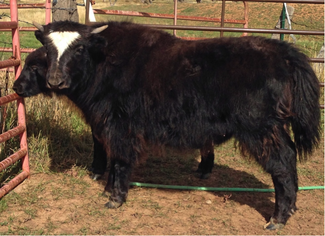 Colorado Yaks For Sale - Lillie