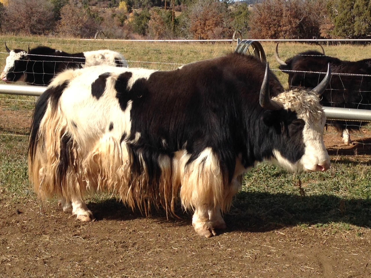 Royal Bull Yak