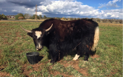 Colorado Yaks For Sale - Violet