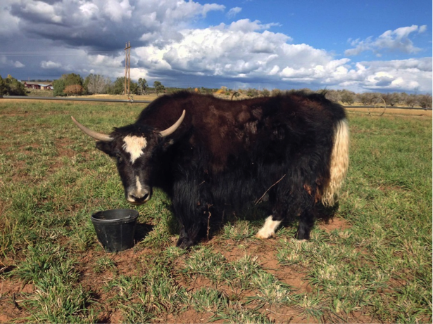 Colorado Yaks For Sale - Violet
