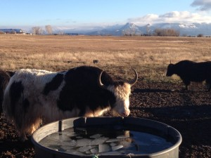 Signs of winter with fresh snow on Mesa Verde, ice in stock tank, and muddy yaks.