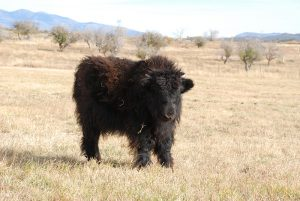 Registered Imperial Yak Yearling For Sale - Southwest Colorado | Mesa View Yak Ranch